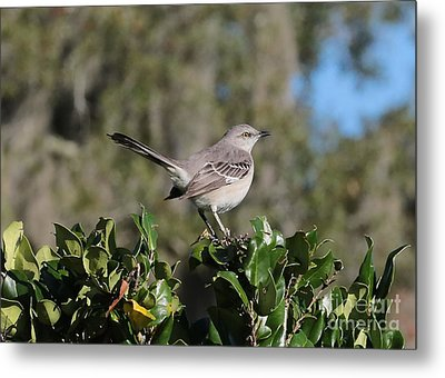 Northern Mockingbird Metal Print by Carol Groenen