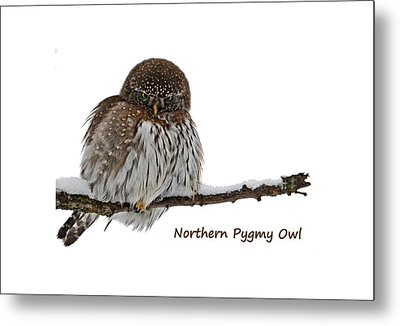 Northern Pygmy Owl 2 Metal Print