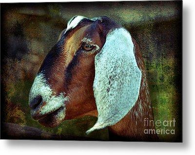 Nubian Goat Metal Print by Elaine Manley