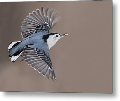 Metal Print featuring the photograph Nuthatch In Flight by Mircea Costina Photography