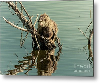 Metal Print featuring the photograph Nutria On Stick-up by Robert Frederick