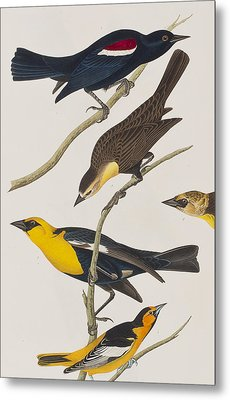 Nuttall's Starling Yellow-headed Troopial Bullock's Oriole Metal Print