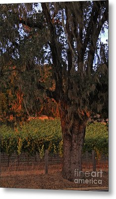 Oak Tree And Vineyards In Knight's Valley Metal Print by Charlene Mitchell