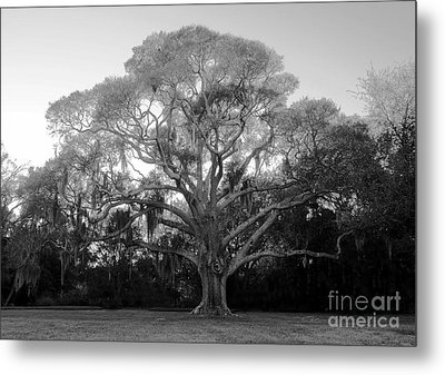 Oak Tree Metal Print by David Lee Thompson