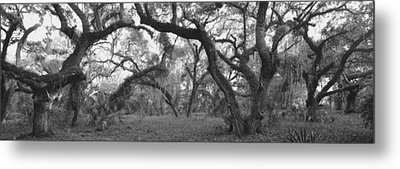 Oak Trees In A Forest, Lake Kissimmee Metal Print by Panoramic Images