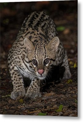 Metal Print featuring the photograph Ocelot #1 by Wade Aiken