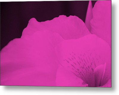 Oh Canna You See In Pink Metal Print by Diane Fiore