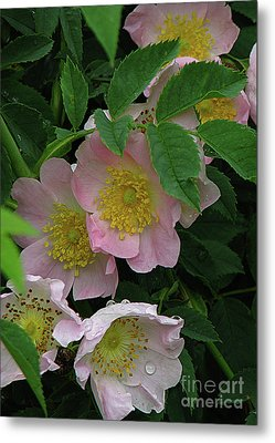 Oh The Wild Rose Bush Metal Print by Deborah Johnson
