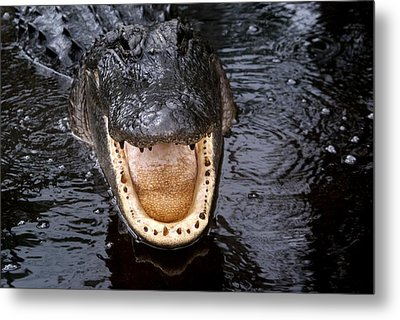 Okefenokee Alligator 1 Metal Print