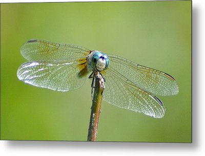 Old Blue Eyes - Blue Dragonfly Metal Print by Bill Cannon