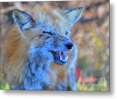 Metal Print featuring the photograph Old Fox by Debbie Stahre