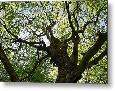 Old Oak Tree Metal Print
