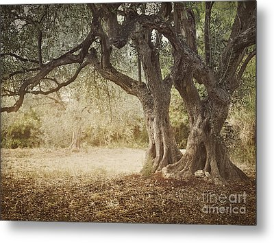 Old Olive Tree Metal Print by Mythja  Photography