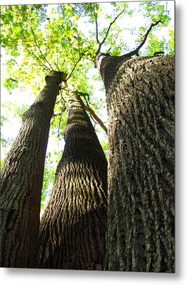 Oldgrowth Tulip Tree Metal Print