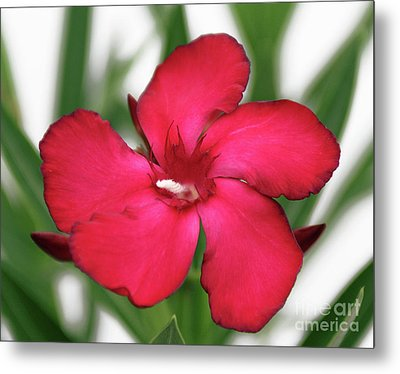 Oleander Blood-red Velvet 1 Metal Print by Wilhelm Hufnagl