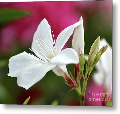 Metal Print featuring the photograph Oleander Casablanca 2 by Wilhelm Hufnagl