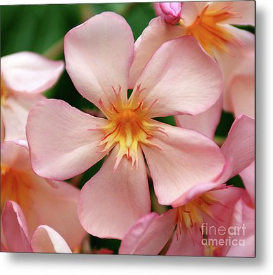 Metal Print featuring the photograph Oleander Dr. Ragioneri 1 by Wilhelm Hufnagl
