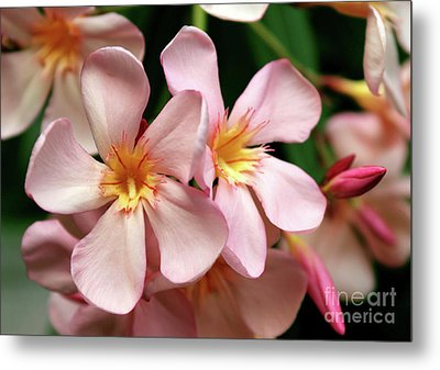 Metal Print featuring the photograph Oleander Dr. Ragioneri 2 by Wilhelm Hufnagl