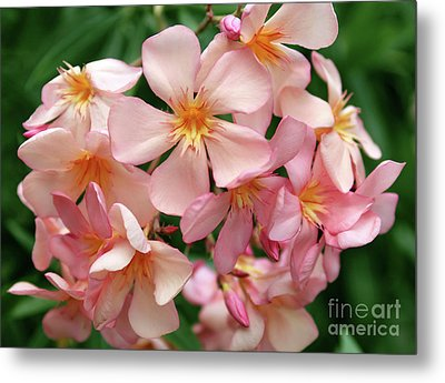 Metal Print featuring the photograph Oleander Dr. Ragioneri 3 by Wilhelm Hufnagl