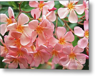 Metal Print featuring the photograph Oleander Dr. Ragioneri 5 by Wilhelm Hufnagl
