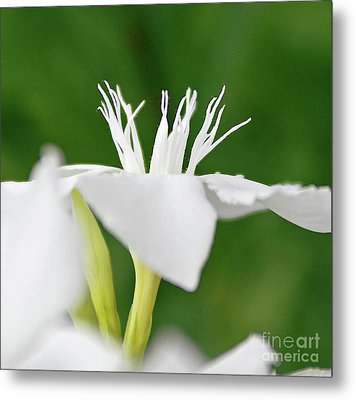 Metal Print featuring the photograph Oleander Ed Barr 2 by Wilhelm Hufnagl