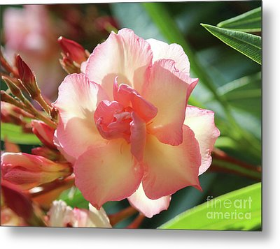 Metal Print featuring the photograph Oleander Mrs. Roeding 1 by Wilhelm Hufnagl