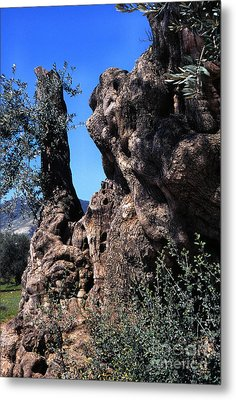 Olive Tree 2000 Years Old Metal Print by Thomas R Fletcher