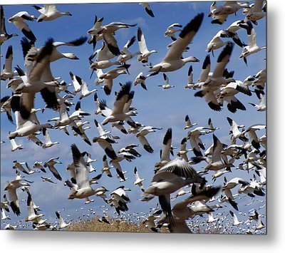 On A Mission Bosque Del Apache Metal Print by Kurt Van Wagner