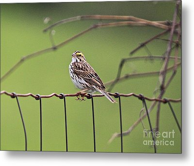 On The Fence Metal Print by Robert Pearson