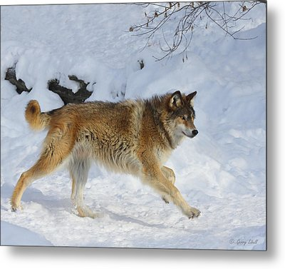 On The Hunt Metal Print by Gerry Sibell