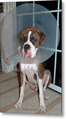 One Biffed Boxer Metal Print by DigiArt Diaries by Vicky B Fuller