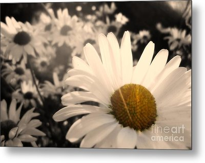 One Daisy Stands Out From The Bunch Metal Print