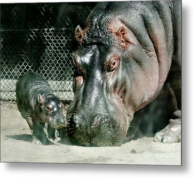 One Day Old Baby Hippo And Mom Metal Print