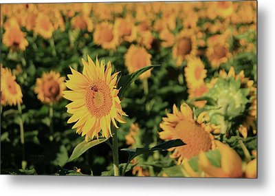 Metal Print featuring the photograph One In A Million Sunflowers by Chris Berry