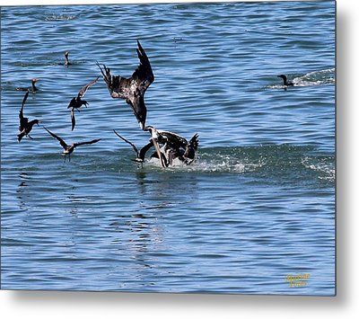 One Pelican Diving  Metal Print