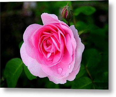One Pink Rose And One Bud Metal Print by JoAnn Lense