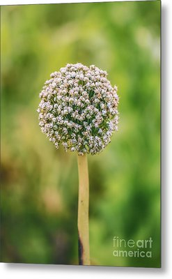 Onion Flower,onion Plant Head Metal Print by Mohamed Elkhamisy