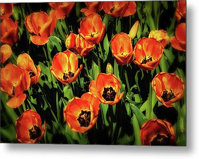 Open Wide - Tulips On Display Metal Print by Tom Mc Nemar