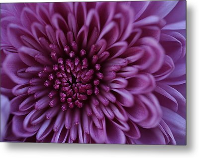 Metal Print featuring the photograph Purple Mum by Glenn Gordon