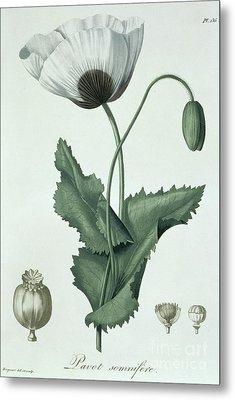 Opium Poppy Papaver Somniferum Metal Print by LFJ Hoquart