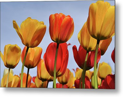 Orange And Yellow Tulips With Blue Sky Metal Print by Brandon Bourdages