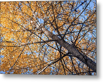 Orange Autumn Tree. Metal Print