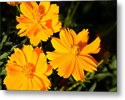 Metal Print featuring the photograph Cosmos Trio by Sheila Brown