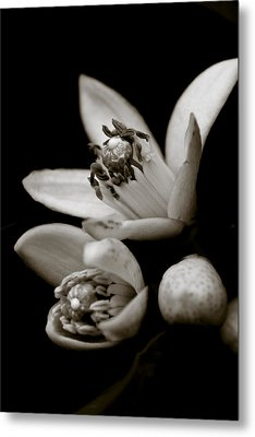 Orange Blossoms Metal Print by Frank Tschakert