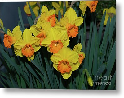 Orange-centered Daffodils Metal Print