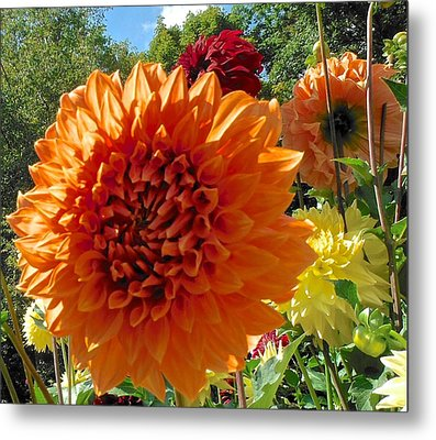 Orange Dahlia Suncrush  Metal Print