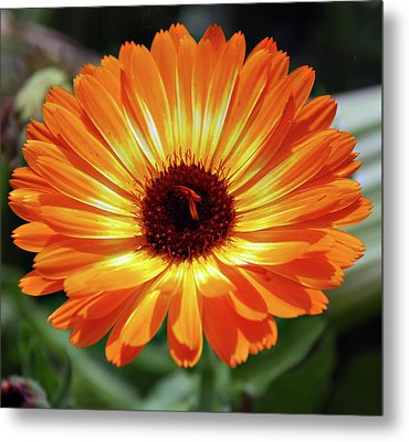 Orange Daisy Delight Metal Print by Don  Wright