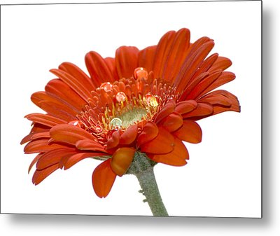 Orange Daisy Gerbera Flower Metal Print by Pixie Copley