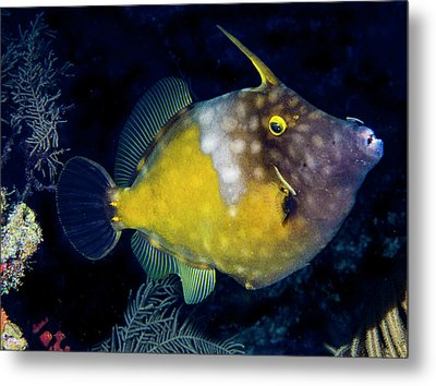 Metal Print featuring the photograph Orange Filefish by Jean Noren