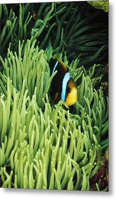 Orange-fin Anemone Fish, Amphiprion Metal Print by James Forte